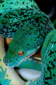 Snake Fact: The decapitated head of a dead snake can still bite, even hours after death. These types of bites usually contain huge amounts of venom.