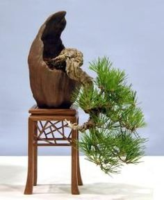 #Pinus thunbergii - Japanese Black Pine #Bonsai_Tree
