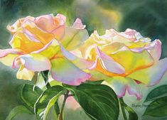 Two Peace Rose Blossoms watercolor - Sharon Freeman.