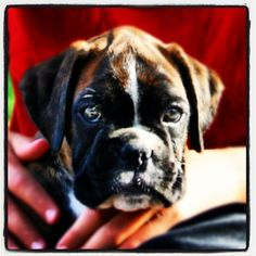Our boxer Athos when he was eight weeks old, almost six years ago.