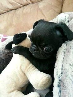 Pugs That Love To Hug! Visit our website for more relevant information on pugs. It is an excellent place to learn more.Visit our website for more relevant information on pugs. It is an excellent place to learn more. Cute Funny Animals, Funny Animal Pictures, Cute Baby Animals, Cute Baby Pugs, Dog Pictures, Funny Pets, Pug Love, I Love Dogs, Cute Dogs And Puppies