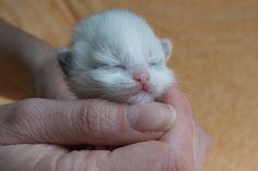 2015: Darcy A Zwollywood Cat. 1 Week old. Ragdoll kitten, seal bicolour. Dark world litter.