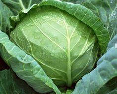 Капуста — интересная информация о любимом овоще - Садоводка