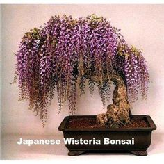I found 'Blue Japanese Wisteria Vine' on Wish, check it out!