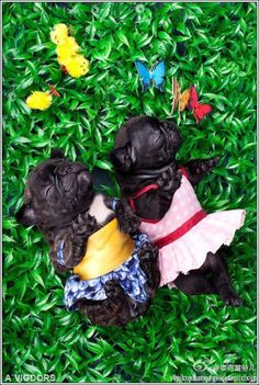 lovely dressed pugs settled in the pasture for a snooze