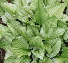 Hosta Zebra Stripes (T. Avent : (aka: Hosta Hosta 'Zebra Stripes' is one of the most asked about hostas in our garden. This Plant Delights hybrid resulted from a cros. Garden Shrubs, Lawn And Garden, Shade Garden, Garden Plants, Rain Garden, Garden Beds, Hosta Plants, Shade Plants, Shade Perennials