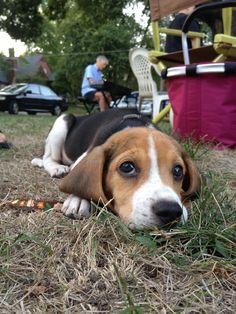 Cute Little beagle puppy #Beagle