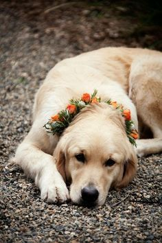 yellow labrador with flowers for the wedding