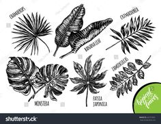 Ink hand drawn set of tropical plants leaves - Banana palm leaves, monstera, chamaedorea, chamaerops, zamioculcas, fatsia japonica. Botanical elements collection for design, Vector illustration.