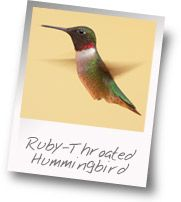 Get to know: Ruby-Throated Hummingbird