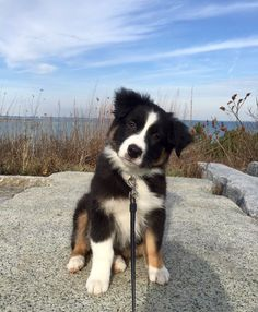 Australian Shepherd puppy Intelligent, easy to train, and so affectionate - Tap the pin for the most adorable pawtastic fur baby apparel! You'll love the dog clothes and cat clothes! <3