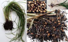 Chufa Tiger Nut Earth Almonds Cyperus Esculentus Tubers