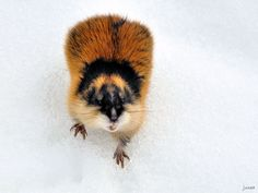 Lemming on snow Hamsters, Rodents, Snakes, Mice, Bugs, Snow, Animaux, Computer Mouse, Beetles