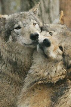 Affectionate wolves