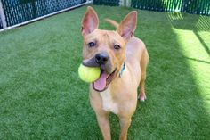 TWIZZLER - 7958 (ALT ID A1125158) - - Manhattan TO BE DESTROYED 10/23/17 A volunteer writes: Found with his two housemates in an abandoned apartment, Twizzler is always ready to make new friends and be outside playing with a toy or a ball. His bat ears are adorable, his eyes sparkle, and his handsome little frame could use some better nutrition to fill out his coat. If we could harness his lively energy, we'd never need to charge our cell phones, as his energy will