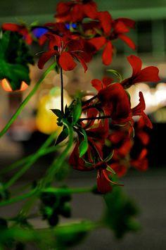 Flowers on a night walk in Wiesbaden, Germany