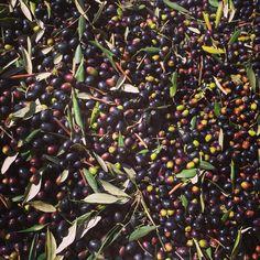 Olive Harvest, Fb Page, Olive Oil, Join, Italy, Facebook, Bottle, Videos, Christians