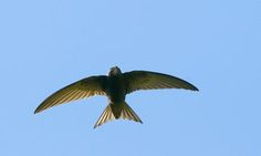 Stephen Moss reports on the campaign to save the endangered swift - and explains what you can to do help