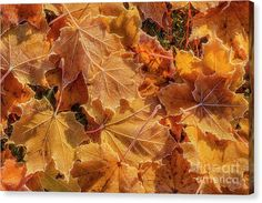 "#autumn Canvas Print featuring the photograph ""Frosted"" by Veikko Suikkanen #leaves"