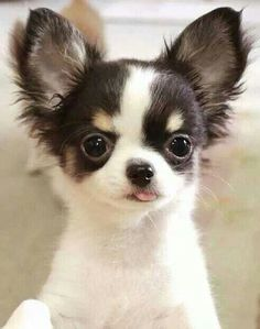 I'm not a fan of long haired Chihuahuas, but OMG, this is one painfully cute pup! << HOW CAN YOU MOT LIKE LONG HAIRED CHIHUAHUAS?!