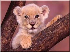 Lion Cub Photos Wallpaper for Devices Wildlife Wallpaper, Animal Wallpaper, Beautiful Lion, Animals Beautiful, Cute Baby Animals, Animals And Pets, Animal Babies, Wild Animals, Gina Wild