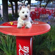 westies and Coke! Coca Cola Decor, Vintage Coke, West Highland White, West Highland Terrier, White Terrier, Dog Agility, White Dogs, Family Dogs, Terrier Dogs
