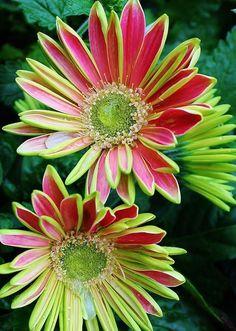 "flowersgardenlove: "" Gerber Daisies Photo Beautiful gorgeous pretty flowers """