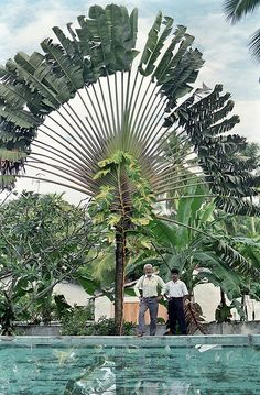 Ravenala madagascariensis, commonly known as Traveller's Tree or Traveller's Palm, Kalutara, Sri Lanka