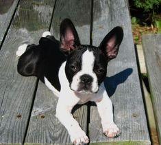 Frenchton (French Bulldog Boston Terrier Mix) Info, Temperament, Puppies, Pictures #bostonterrierpuppy