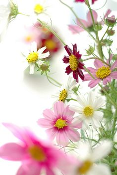 plant Cosmos for Peace. planting the garden that is your life. (meanings of flowers)
