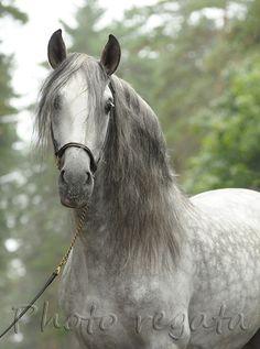 Андалузская - фотографии - equestrian.ru