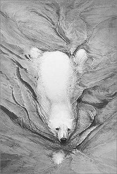 Pencil Drawings of Polar Bears | Specialising exclusively in graphite pencil drawings.