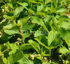 strawberry leaves on the field