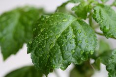 Patchouli in fresh rain | Flickr - Photo Sharing!