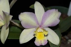 Cattleya Sunset 'Vision' - Orchid Council of New Zealand Inc.