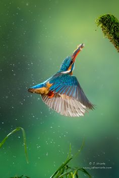 ~~Double Catch | Kingfisher | by J. Uriarte~~