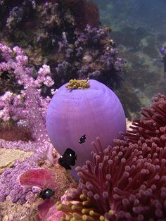 """h4ilstorm: """" Closed Up Sea Anemone with small clownfish (by jd1001) AR"""