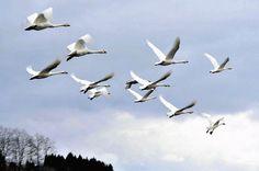 水田から一斉に飛び立つハクチョウの群れ、近づく春を告げる。 Suiden kara isseini tobitatsu hakuchō no mure, chikadzuku haru o tsugeru. Kawanan angsa terbang serentak dari sawah, memberi tahu mendekatnya musim semi. http://www.yomiuri.co.jp/national/20160309-OYT1T50079.html