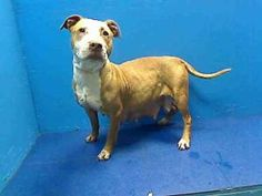 LILLY is an adoptable Pit Bull Terrier Dog in Brooklyn, NY.  ...