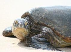 NOAA :: National Marine Fisheries Service Hawaiian green sea turtle - Honu