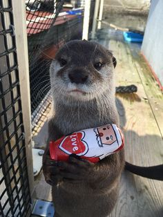 There is no Otter Love - Bryce the Otter Cute Funny Animals, Cute Baby Animals, Funny Cute, Animals And Pets, Otters Cute, Baby Otters, Otter Love, Cute Animal Pictures, Cute Creatures