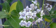 आक (Calotropis Gigantea) परिचय गुण तथा आयुर्वेदिक उपयोग Health, Plants, Health Care, Plant, Planets, Salud