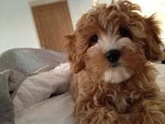 My latest obsession-Cavapoo Puppies!