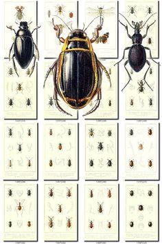 INSECTS-42 Collection of 109 vintage illustrations Beatle Abacetus, Abyas, Acilius, Acinopus, Acorius, Acridium, Actophorus, Acupalpus, Adelops, Aeridium, Agabus, Agaricophagus, Agathidium, Agelaea, Agelena, Agria, Agyrtes, Alastov, Amara, Amaurops, Amblystomus, Ammophila, Amphicyllis, Anax, Anchomenus, Andrena, Anillus, Anisodactylus, Anistoma, Anophthalmus, Anthobosca, Anthophora, Anthrax, Ants, Aphanus, Aphis, Aporosa, Apotomus, Aptinus, Aristus, Asil