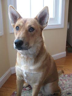 Lady the American Dingo