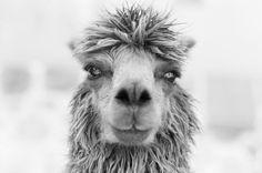 Alpaca.. by Baja Tolstenkov on 500px