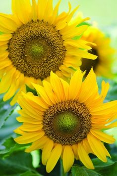 """A cheerful, dwarf sunflower with large single 12"""" yellow flowers. Growing only to 24-30"""" it is just the right size for a kids garden, containers, or raised beds. Dark brown centers produce edible seed"""