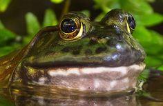 National Aquarium – American Bull Frog