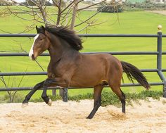 Young PRE Stallion For Sale - Horses for sale