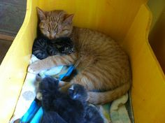 Male Cat Takes on Role of Mother to Abandoned Kittens - http://www.mustlovecats.info/male-cat-takes-on-role-of-mother-to-abandoned-kittens/